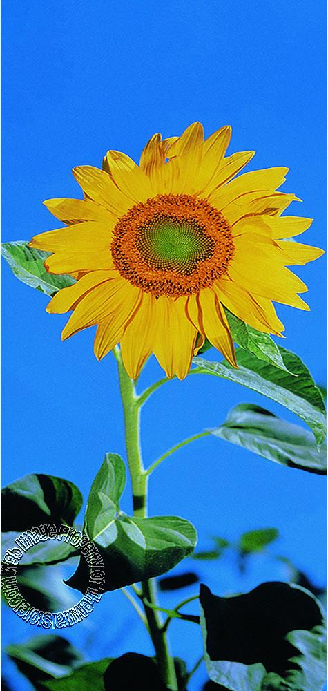 sunflower pr1201 wall mural themuralstore com