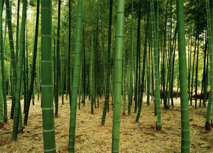 Bamboo forest wall mural pr1831 for Bamboo forest wall mural