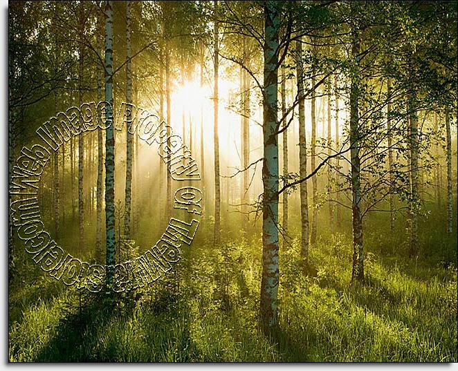 Sunlight Forest Mural 1855 DS8055