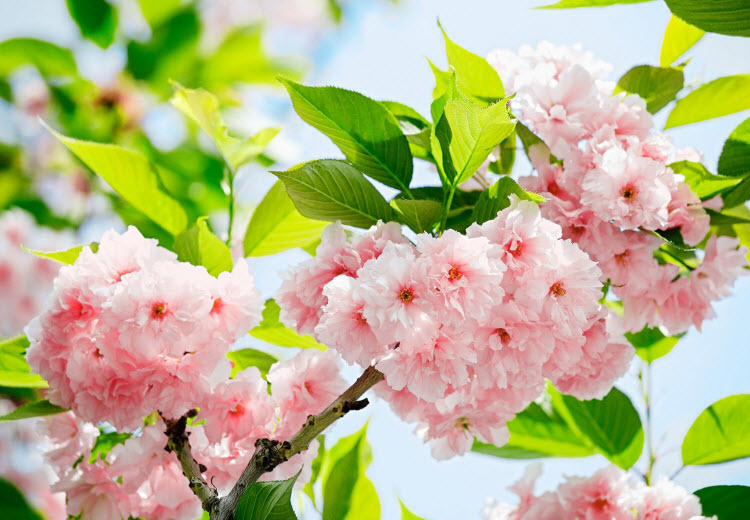 Sakura Blossom Wall Mural DM133