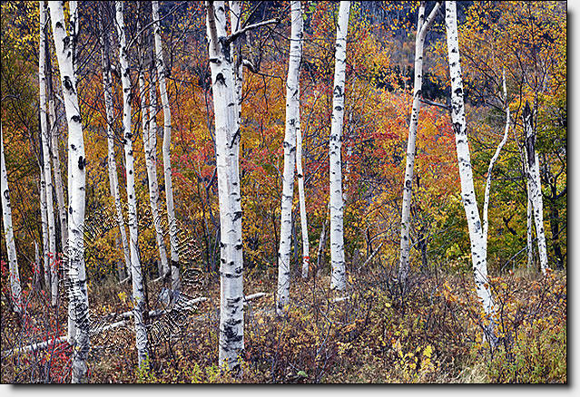 Birch Forest Peel U0026 Stick Canvas Wall Mural By QuickMurals
