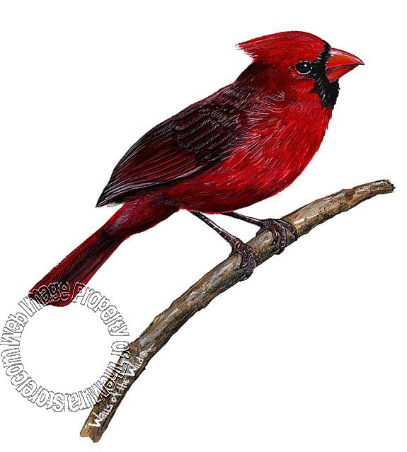 Cardinal Peel & Stick Applique 30118