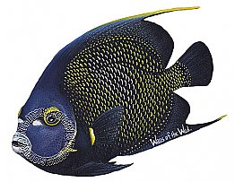 French Angelfish Peel & Stick Applique 61805