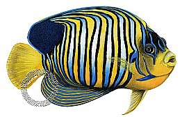 Regal Angelfish Peel & Stick Applique 180507
