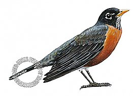 Robin Peel & Stick Applique 181502