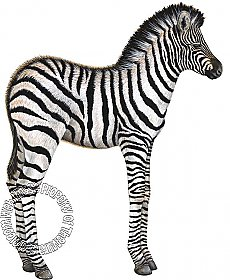 Baby Zebra Peel & Stick Applique 231700