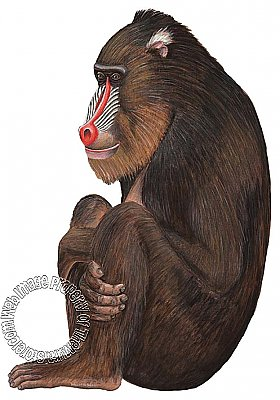 Baboon Peel & Stick Applique 20901