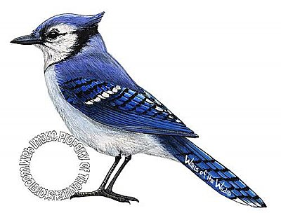 Bluejay Peel & Stick Applique 21121