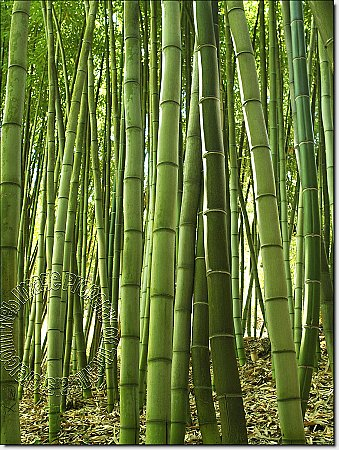 Bamboo Grove Peel & Stick Canvas Wall Mural