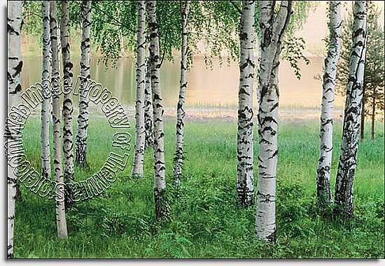 Nordic Forest Wall Mural 290 DM290 by Ideal Decor