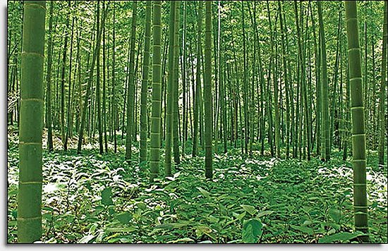 Bamboo Forest Mural UMB91133 by Blonder