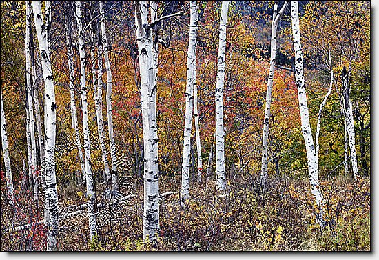 Birch Forest Peel & Stick Canvas Wall Mural