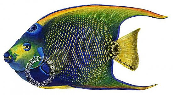 Queen Angelfish Peel & Stick Applique 172107